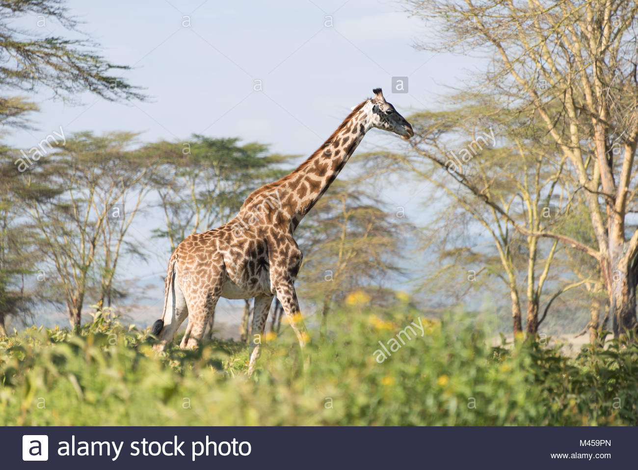 Giraffe walking on horizon with acacias behind - Stock Image