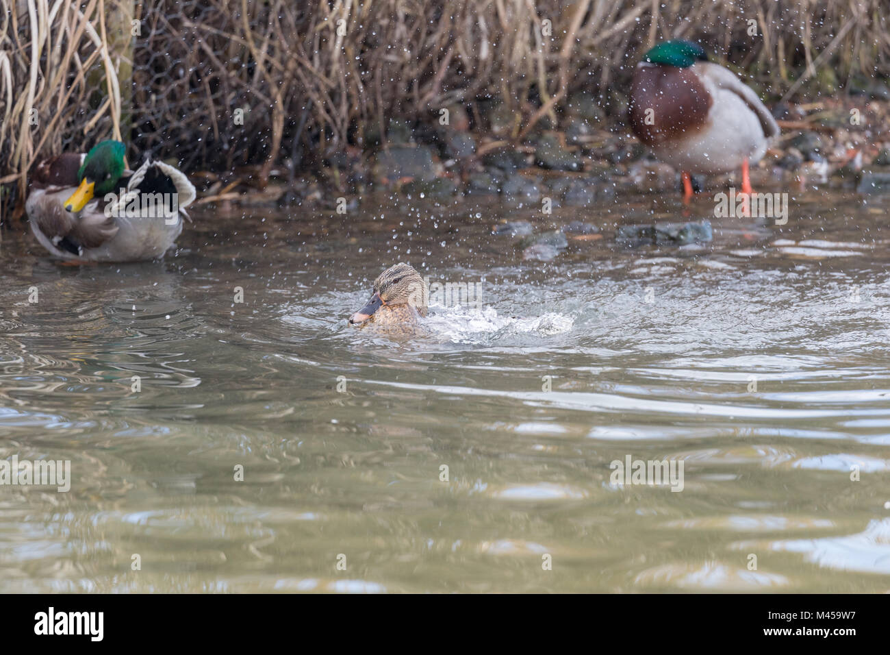 Female mallard (Anas platyrhynchos) splashing in water with two drakes in the background. - Stock Image