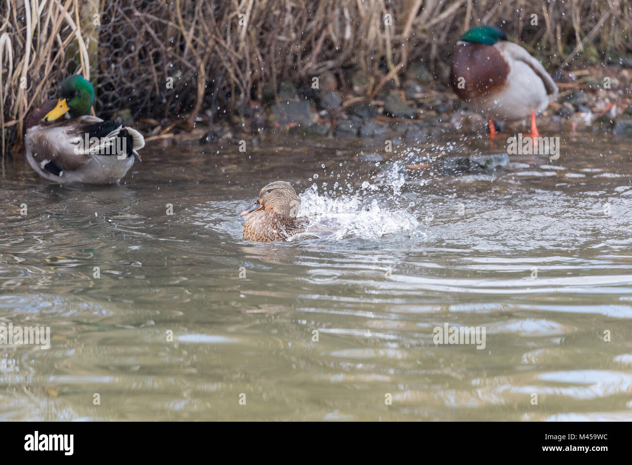 Female mallard (Anas platyrhynchos) splashing in water with two drakes in the background. Stock Photo