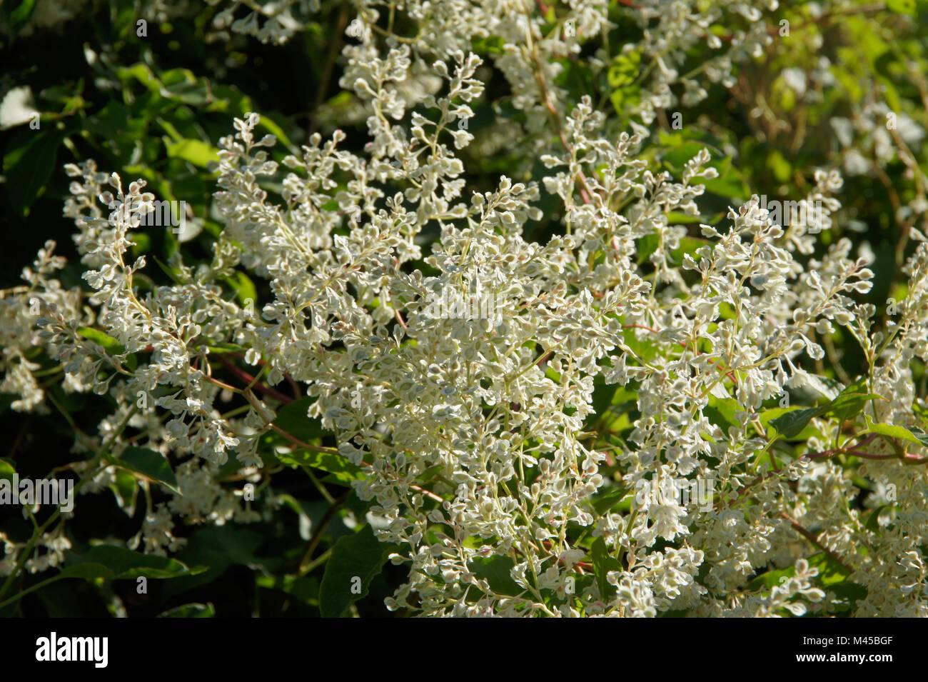Polygonum baldschuanicum, Syn. Fallopia aubertii, Knotweed - Stock Image