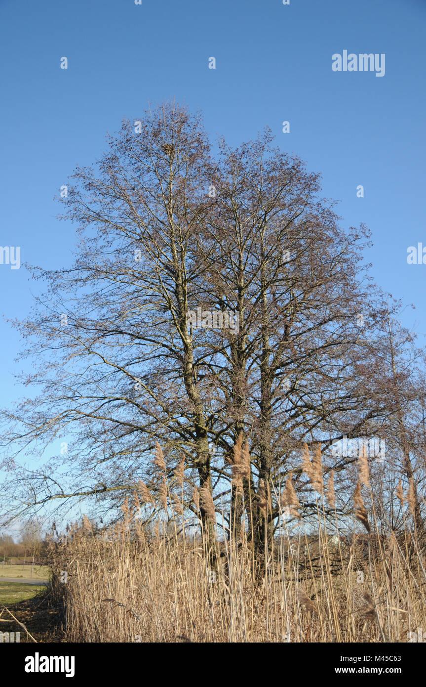 alder tree images.html