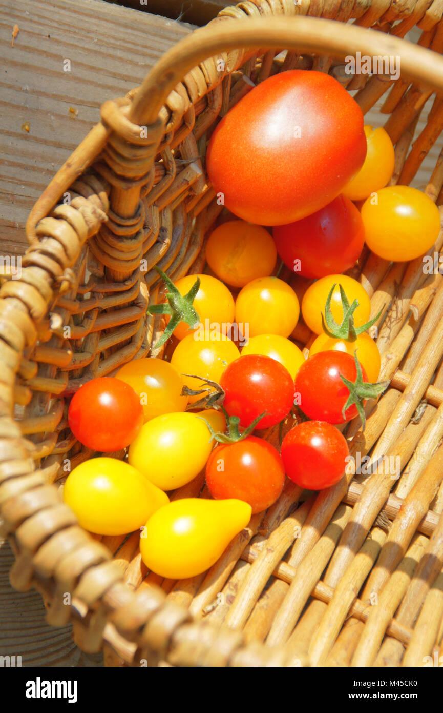 Lycopersicum lycopersicon, Syn, Solanum esculentum, Tomato - Stock Image