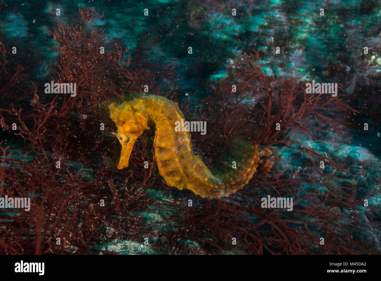 Seahorse by coral, Seymour, Galapagos, Ecuador, South America - Stock Image