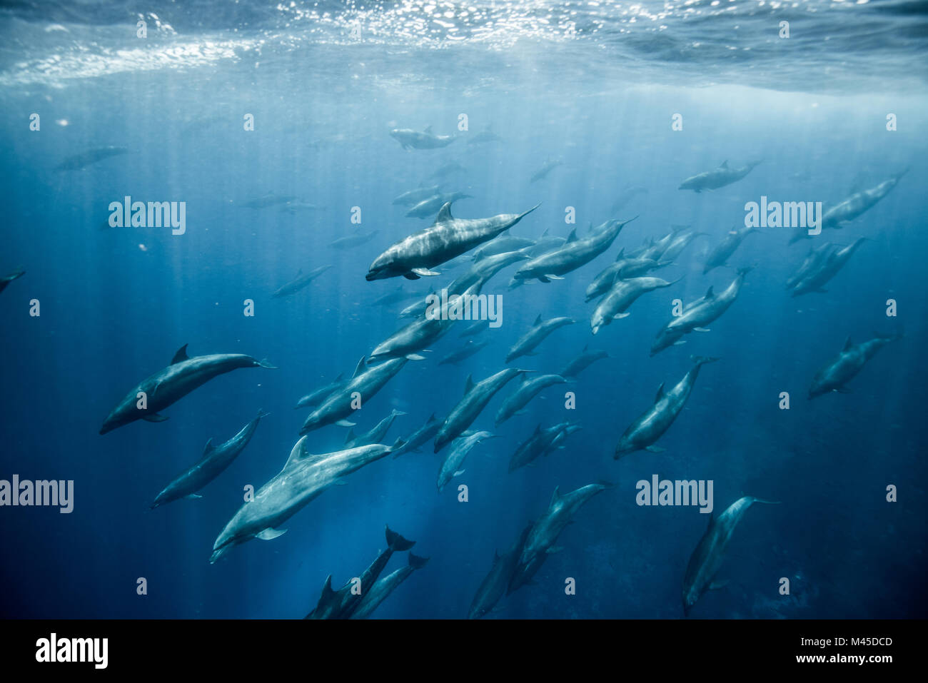 Large group of bottlenose dolphins, Seymour, Galapagos, Ecuador, South America - Stock Image
