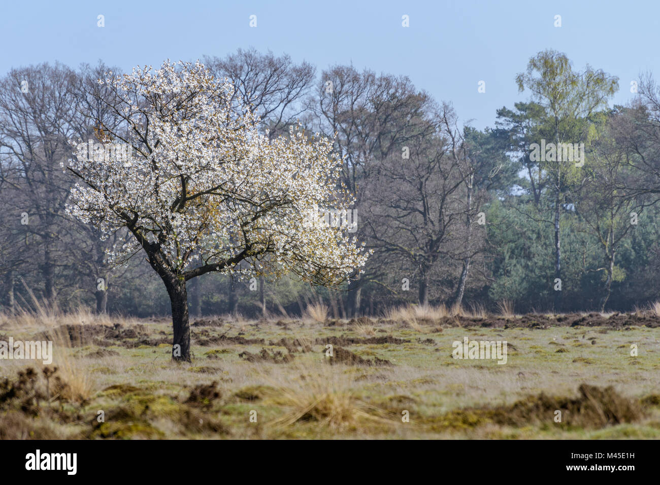 A fruit tree is in full bloom during early spring on the moor at the Veluwe in the Netherlands. - Stock Image