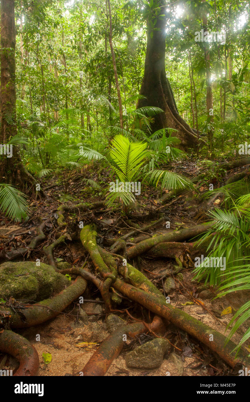 Clearing and sunlit trees in Mossman Gorge located in the southern part of Daintree National Park, North Queensland, Stock Photo
