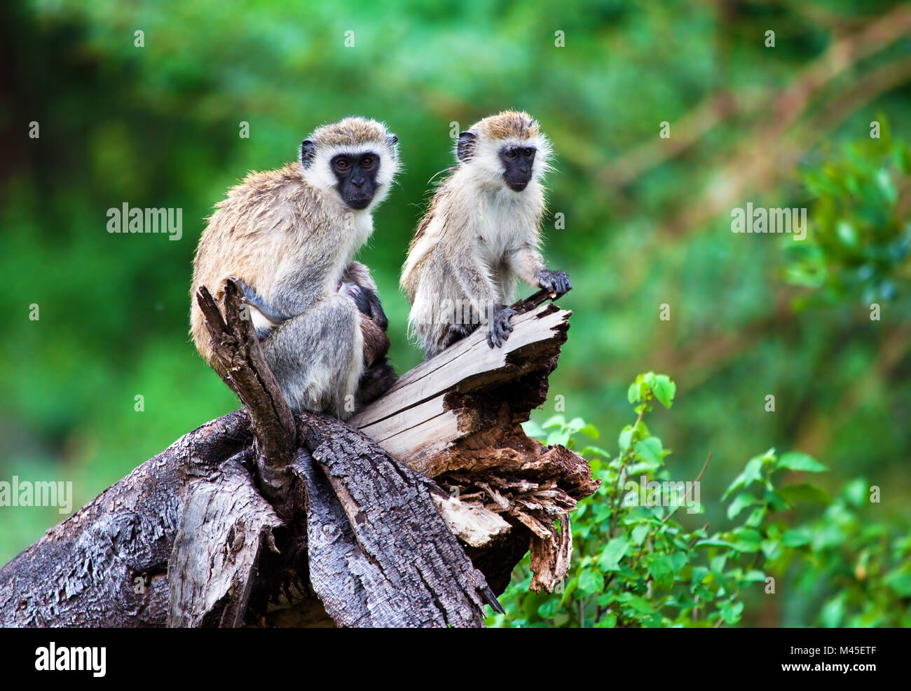 The vervet monkey, Lake Manyara, Tanzania, Africa. - Stock Image