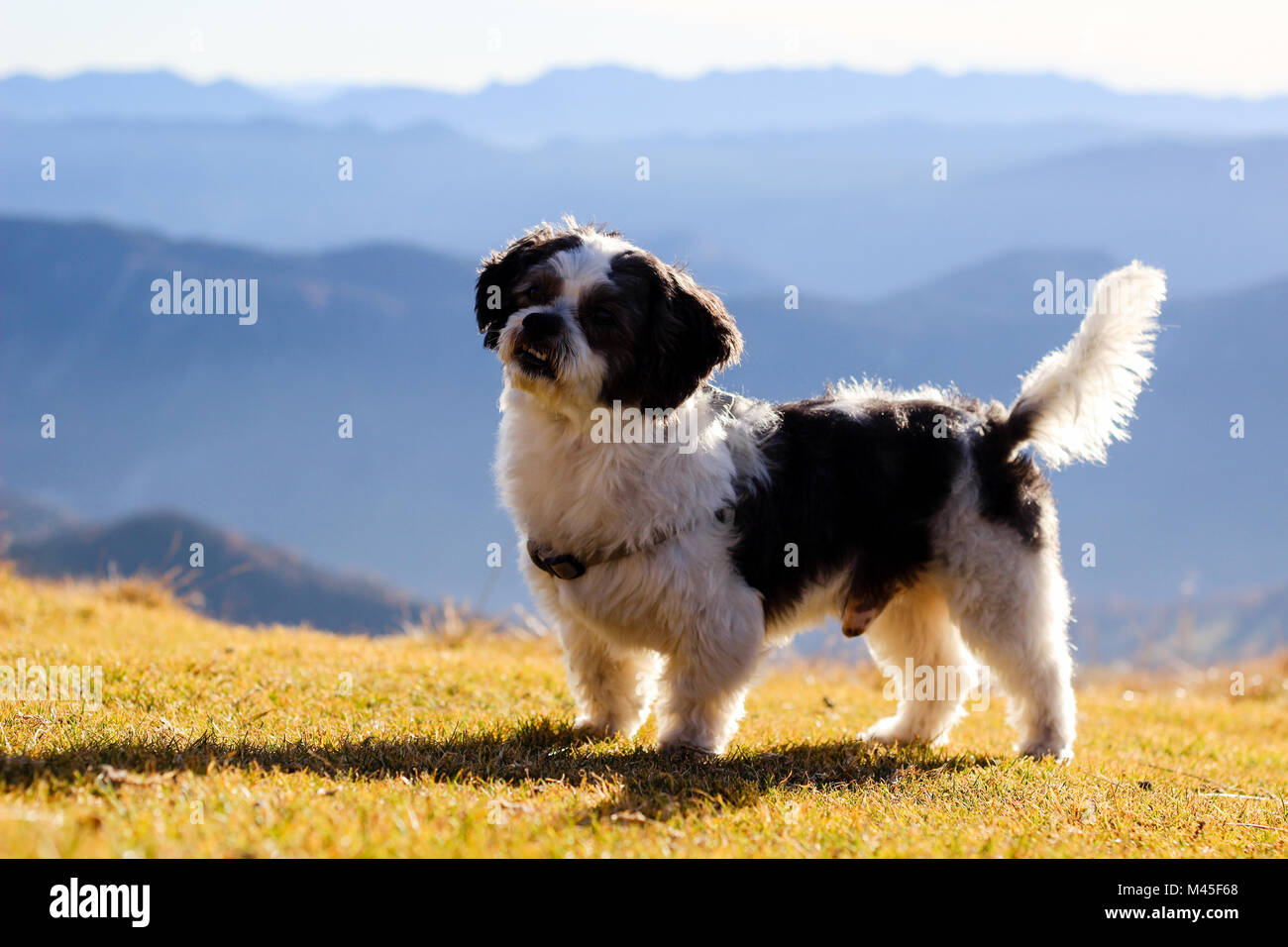 therapeutic dog in the mountain. - Stock Image