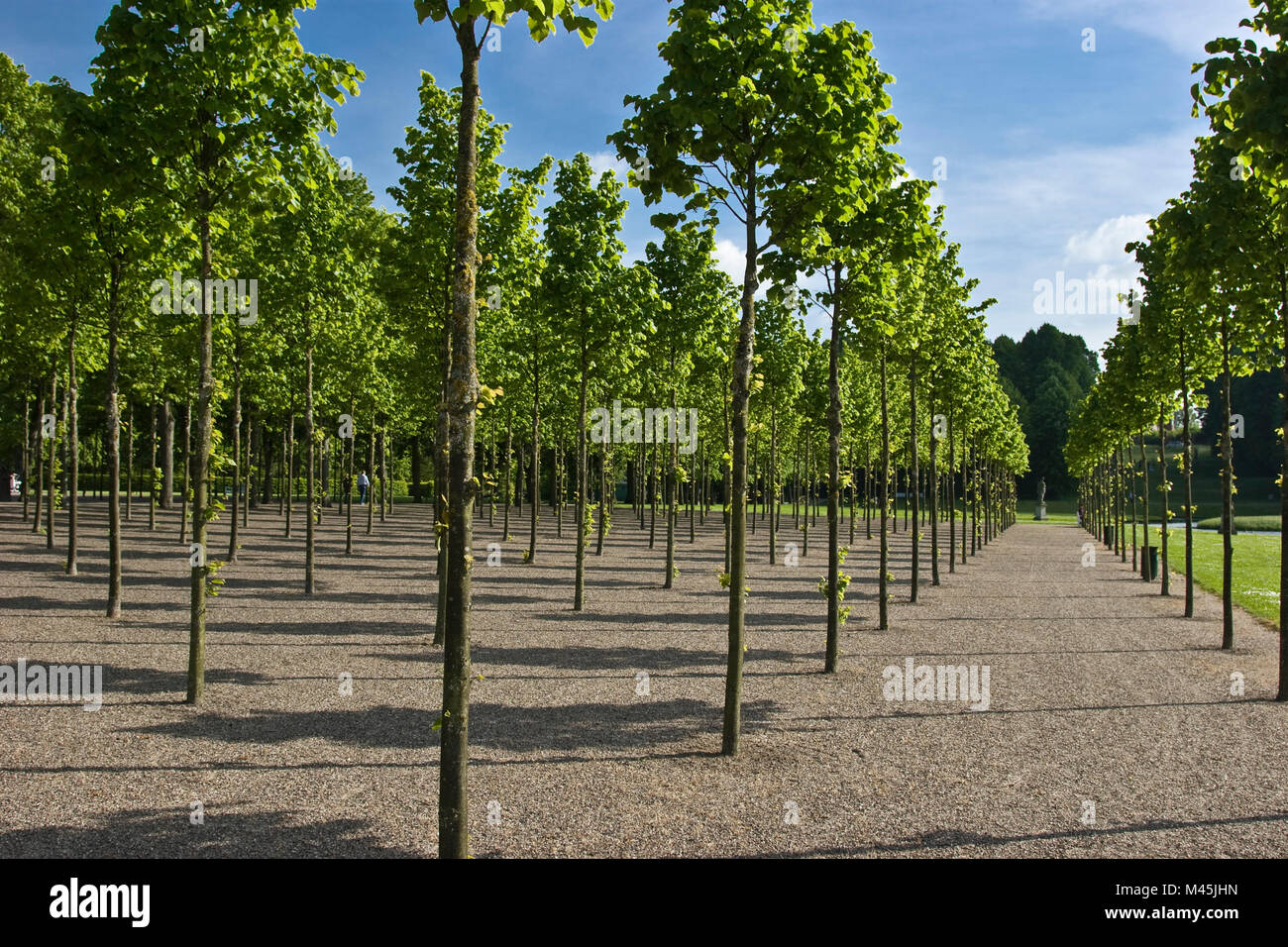 Even rows of young trees in the Castle park in Schwerin - Stock Image