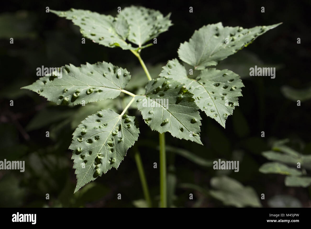 Plant affected by disease - Stock Image