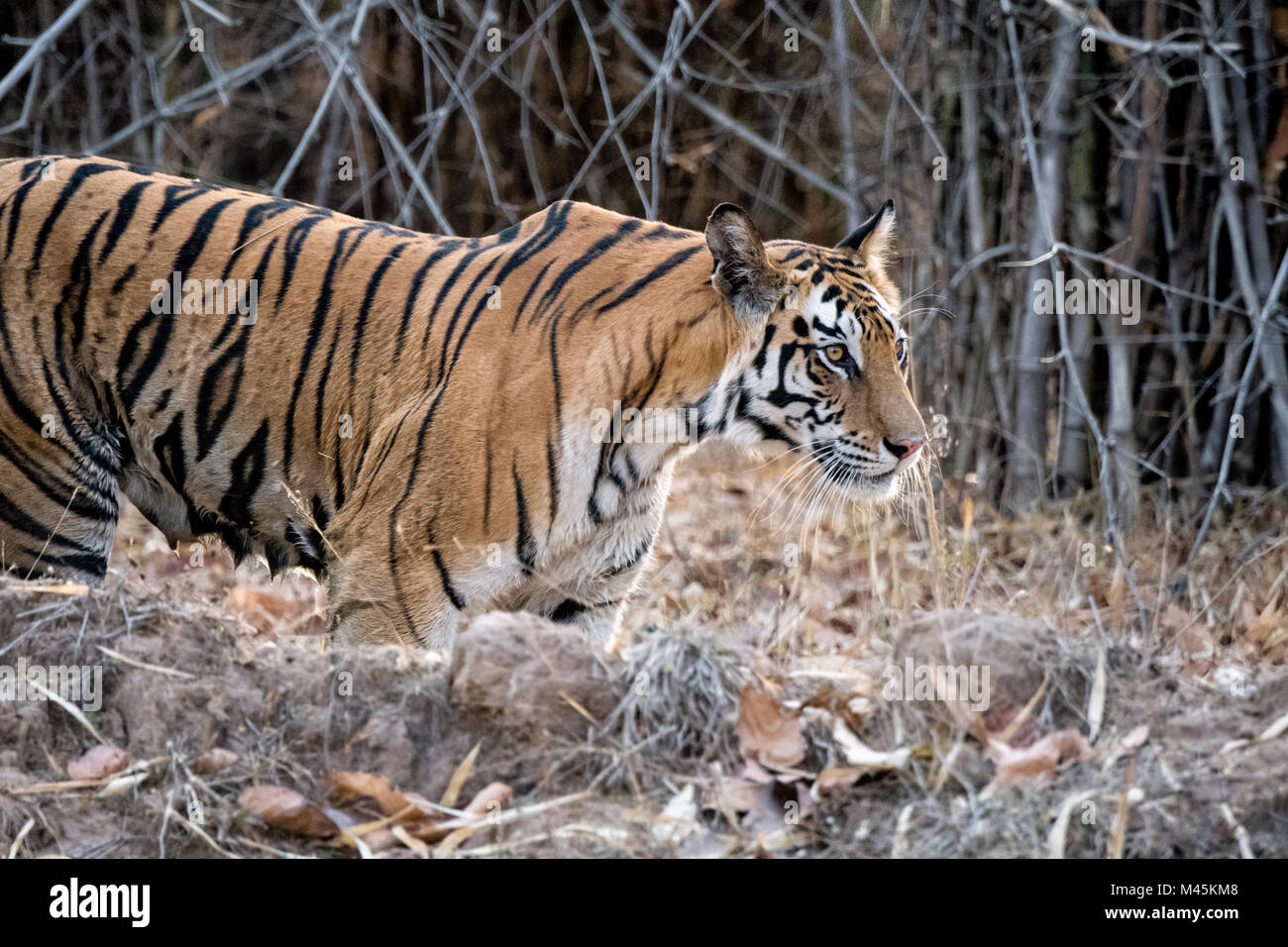 Side view of adult female wild Bengal Tiger, Panthera tigris tigris, with teats full of milk, Bandhavgarh Tiger Stock Photo