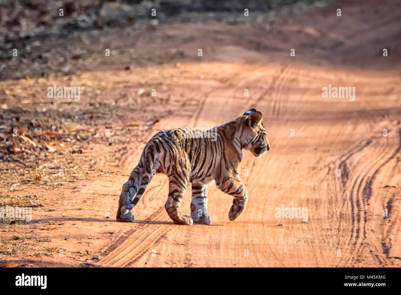 Cute little wild Bengal Tiger Cub, Panthera tigris tigris, crossing a road, Bandhavgarh Tiger Reserve, Madhya Pradesh, - Stock Image