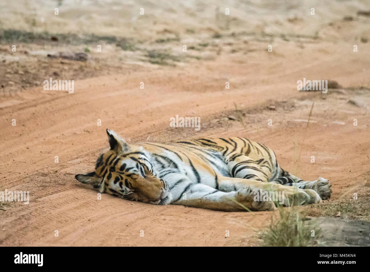 Adult female Bengal Tiger, Panthera tigris tigris, sleeping in the road in Bandhavgarh Tiger Reserve, Madhya Pradesh, - Stock Image