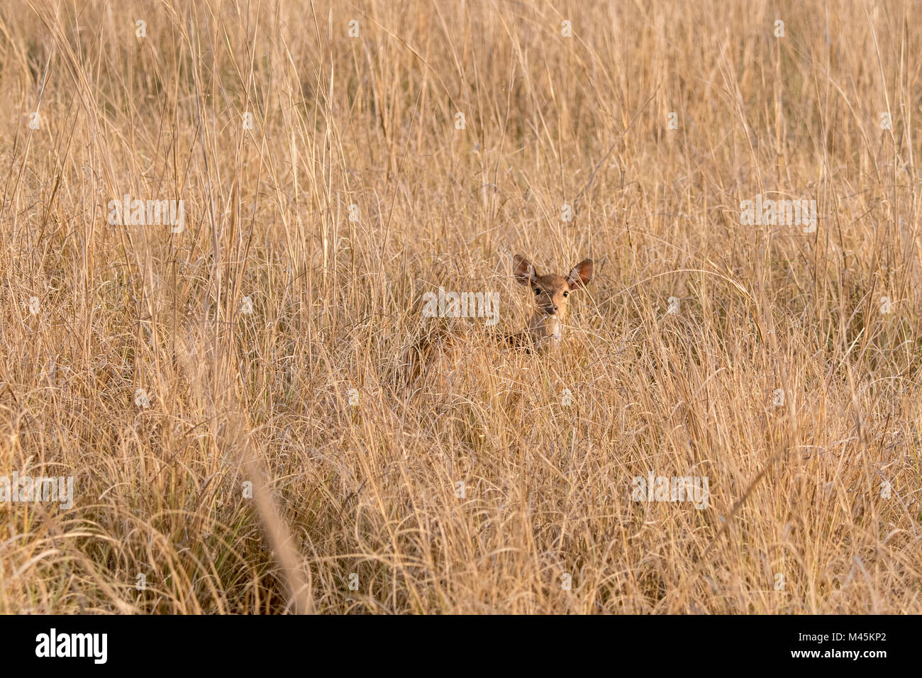 Young wild Chital or Spotted Deer fawn, Axis axis, hiding in dry grass in Bandhavgarh National Park, Madhya Pradesh, - Stock Image