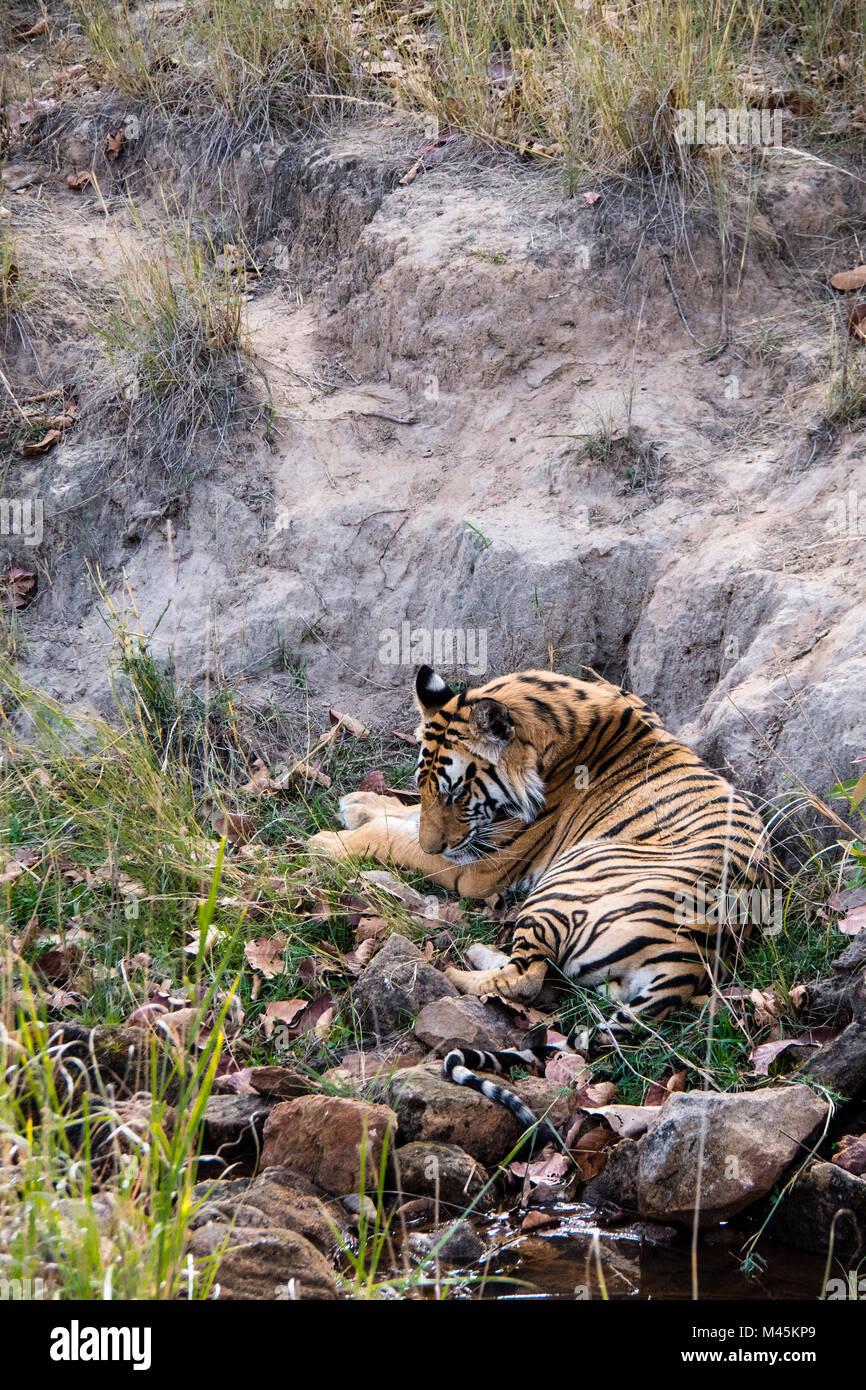 Two year old wild male Bengal tiger sleeping in Bandhavgarh Tiger Reserve, Madhya Pradesh, India - Stock Image
