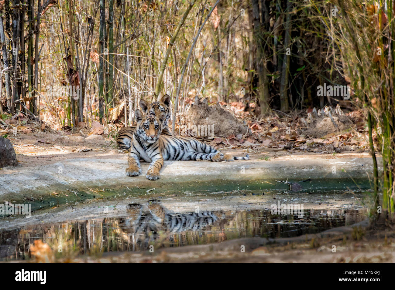 Two cute little two month old Bengal Tiger Cubs, Panthera tigris tigris, lying together by a waterhole, reflections, Stock Photo