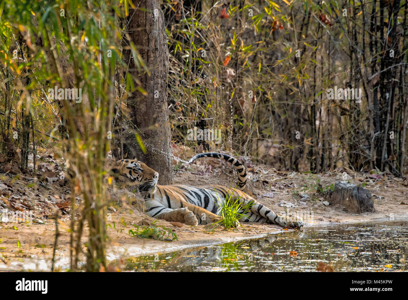Adult wild male Bengal Tiger, Panthera tigris tigris, cooling himself by dipping his tail in a waterhole and spraying - Stock Image