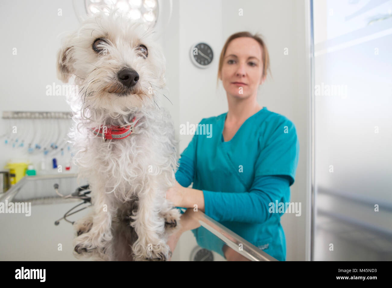 Vet with terrier poodle mixed breed dog on table - Stock Image