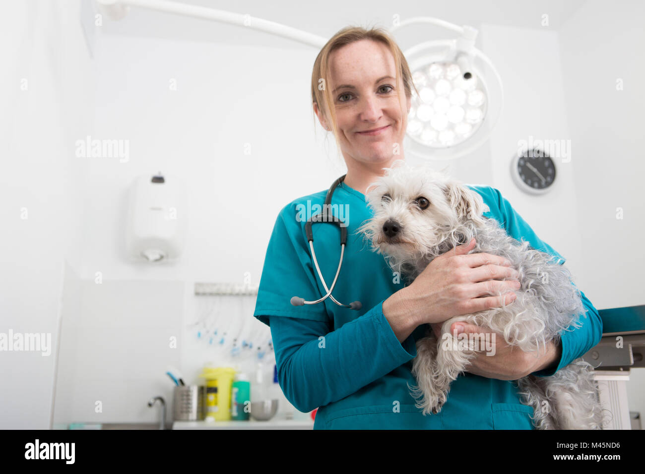 Vet carrying terrier poodle mixed breed dog - Stock Image