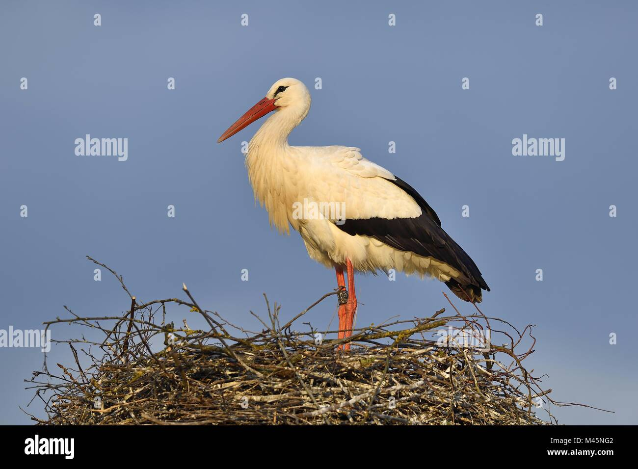 White stork (Ciconia ciconia),standing on eyrie,Canton of Aargau,Switzerland - Stock Image