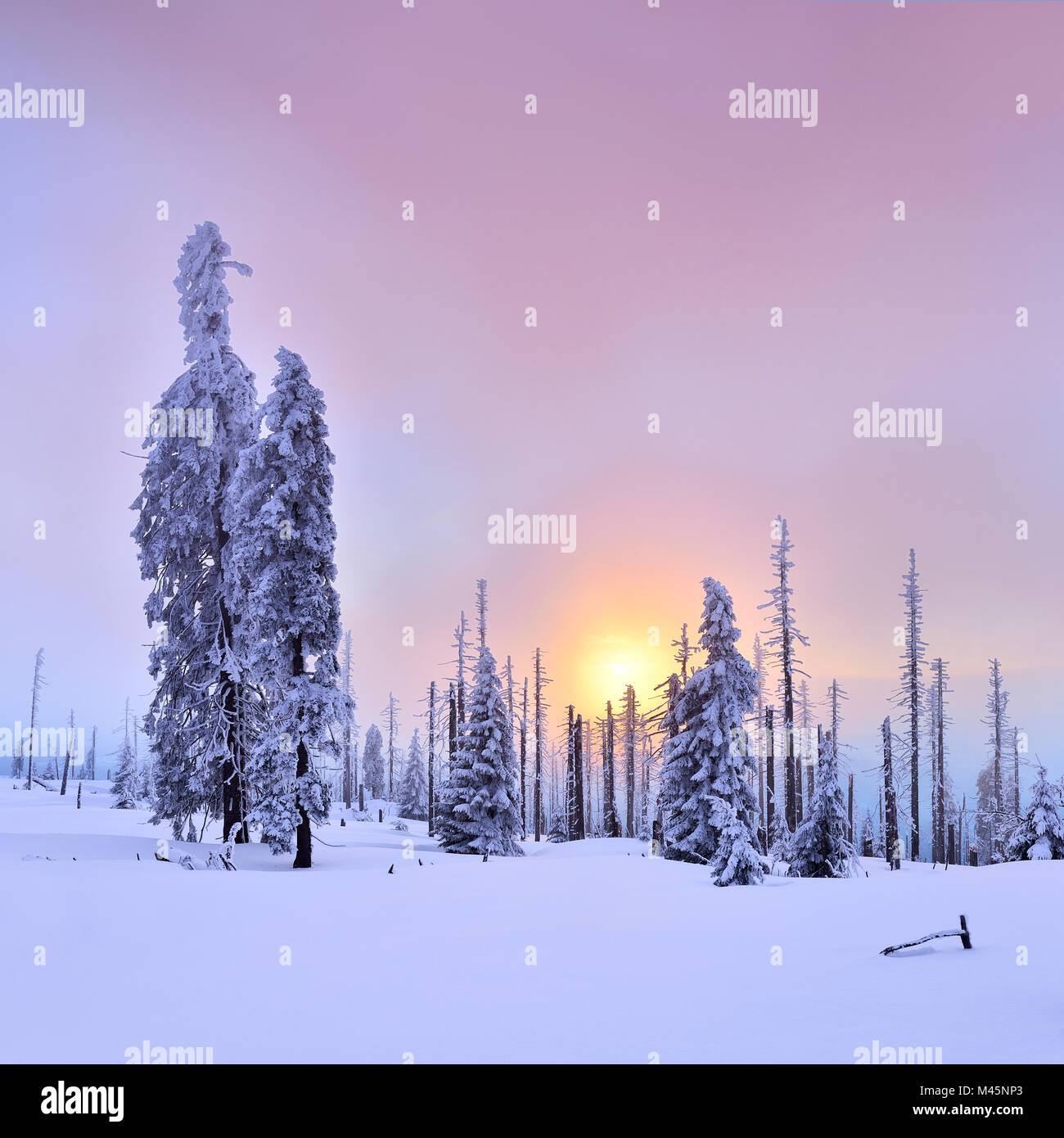 Sunset on the mountain Großer Rachel in winter,spruces covered with snow and spruces dead by bark beetle infestation - Stock Image