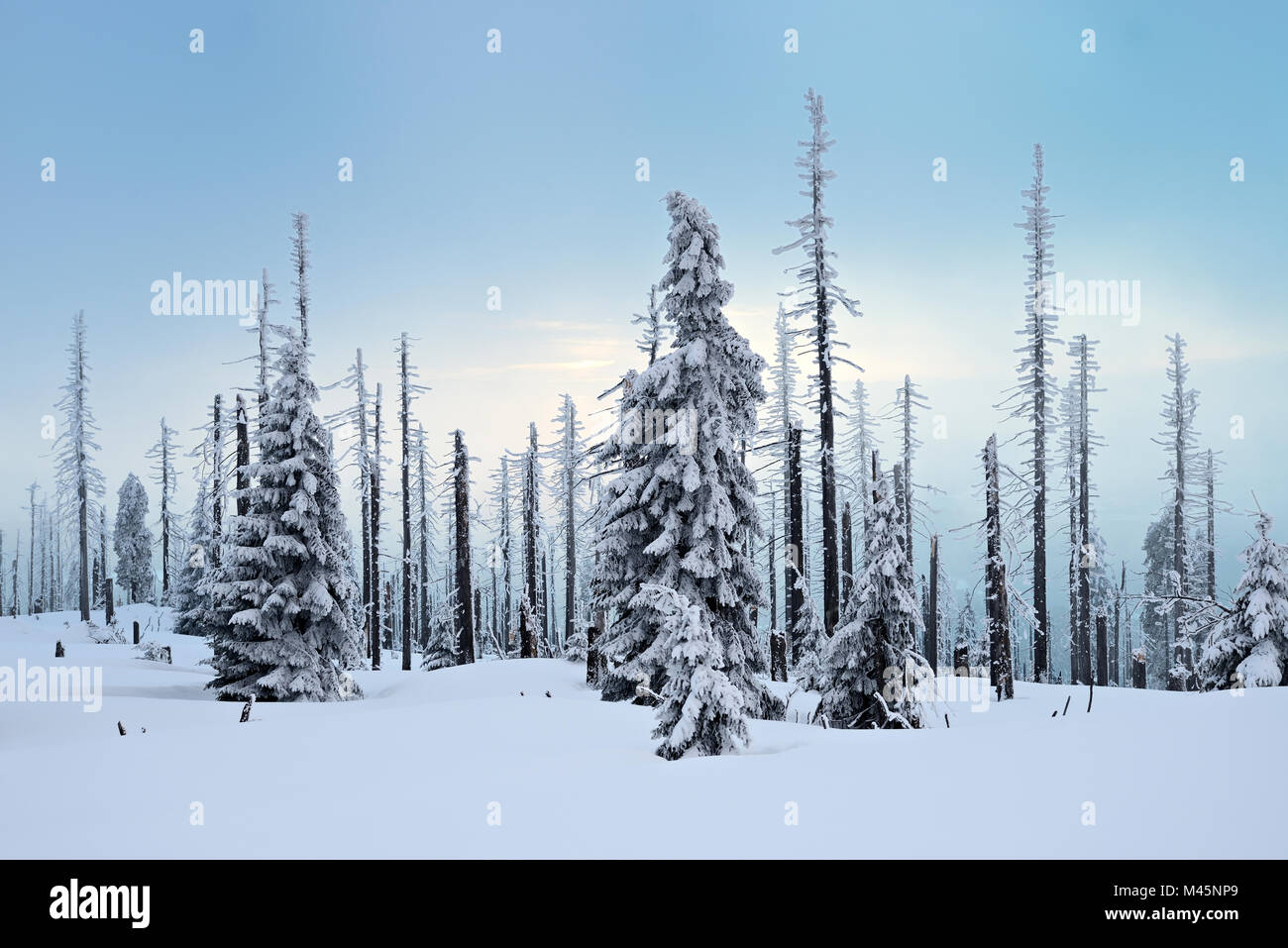 Mountain Großer Rachel in winter,spruces covered with snow and spruces dead by bark beetle infestation - Stock Image