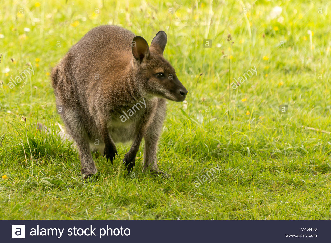 Wallaby crouched on back legs in field - Stock Image