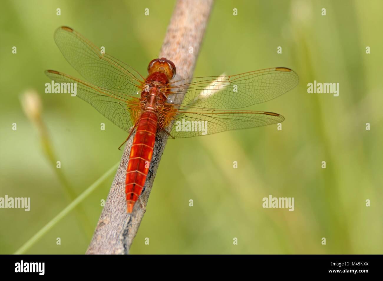scarlet dragonfly Stock Photo