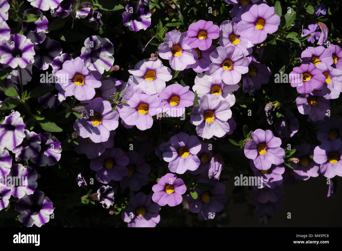Calibrachoa Cultivars Superbells Unique Lavender - Stock Image