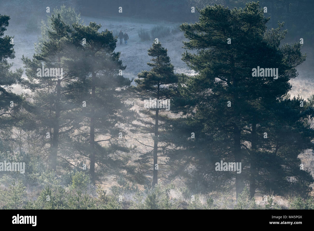 Mist rising over pine trees in Wishmoor Bottom, part of Swinley Forest, on the Berkshire-Surrey border, England - Stock Image