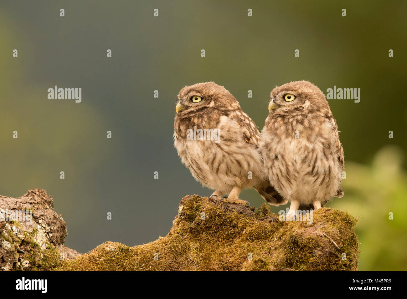 Little owls (Athene noctua),sitting,direct look,Rhineland-Palatinate,Germany - Stock Image