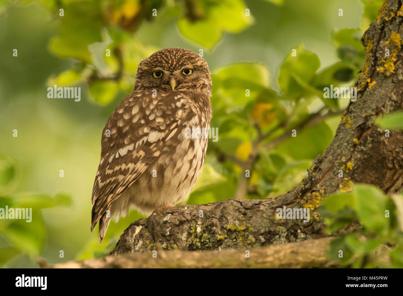 Little owl (Athene noctua) sitting in a tree,direct look,Rhineland-Palatinate,Germany - Stock Image