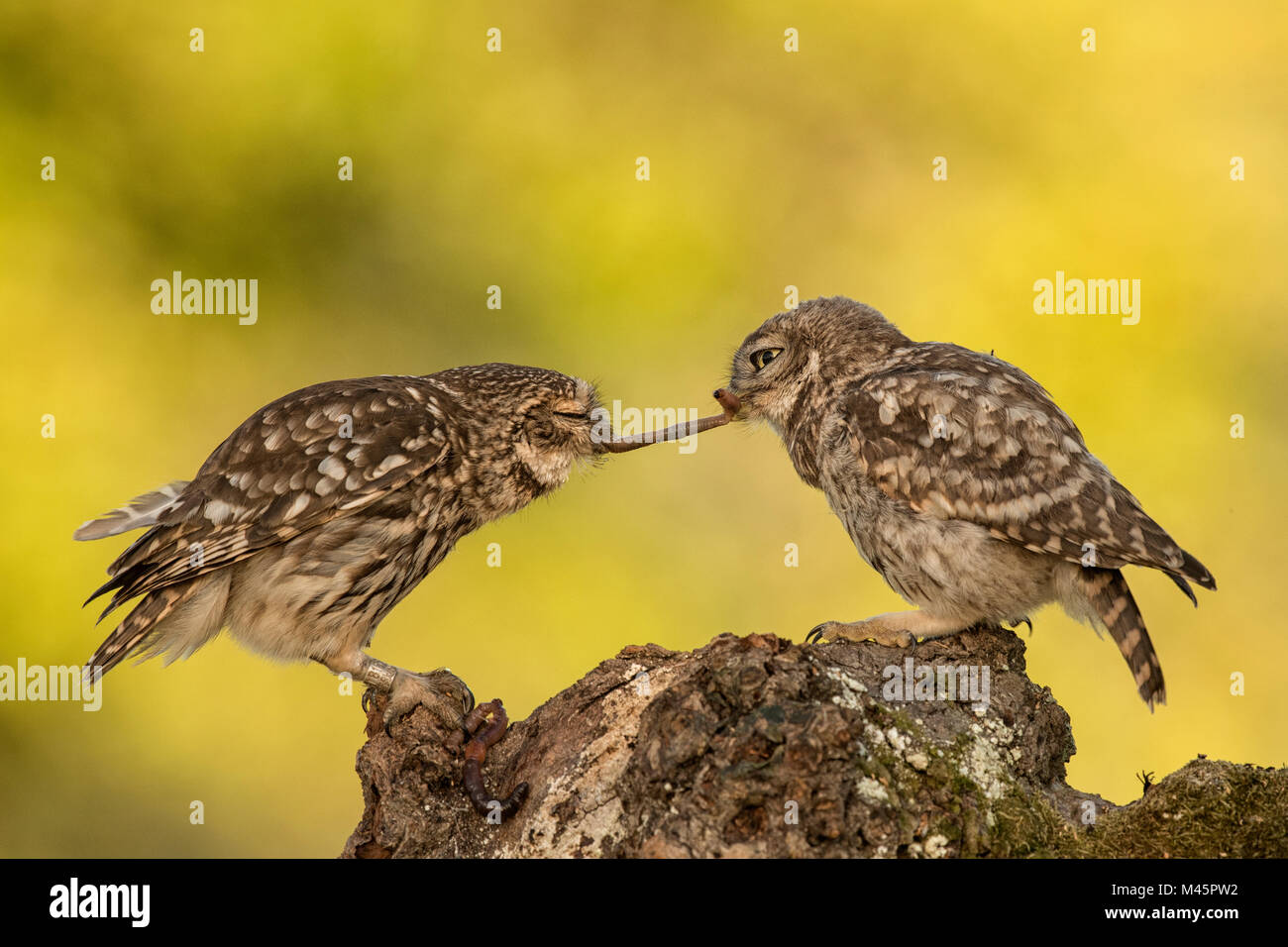 Two Little owls (Athene noctua),old and young animal with earthworm as prey,Rhineland-Palatinate,Germany - Stock Image