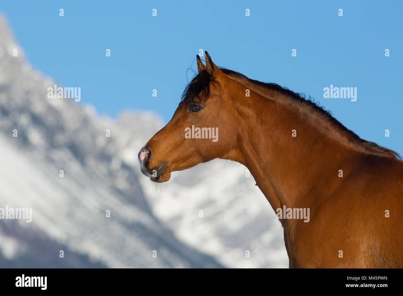 Arabian horse,stallion,animal portrait in winter landscape,Tyrol,Austria - Stock Image