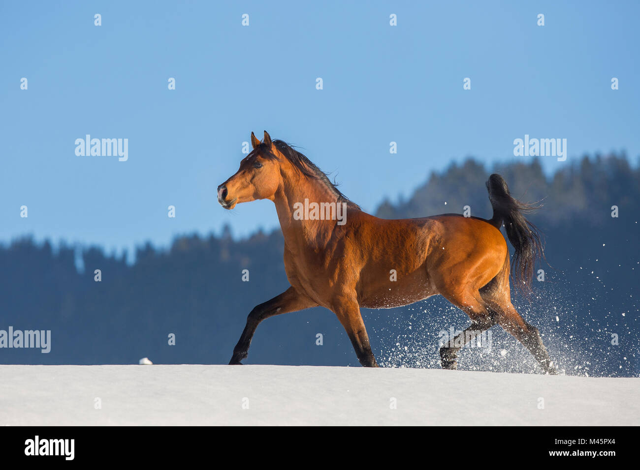Arabian horse,stallion runs in snow,Tyrol,Austria Stock Photo