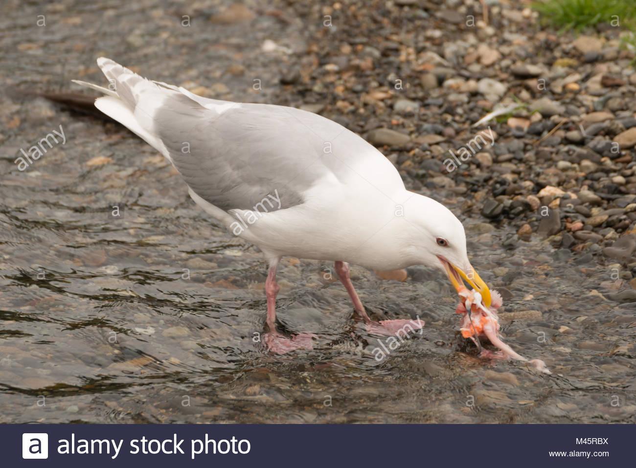 Seagull pecking at salmon chunk in shallows Stock Photo