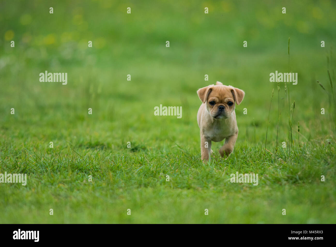 cute little pug puppy on a soft green background - Stock Image