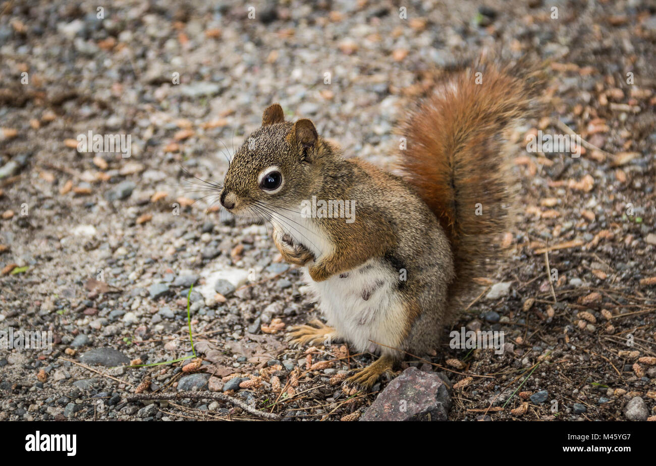 A  Grey Squirell Standing on Hind Feet - Stock Image