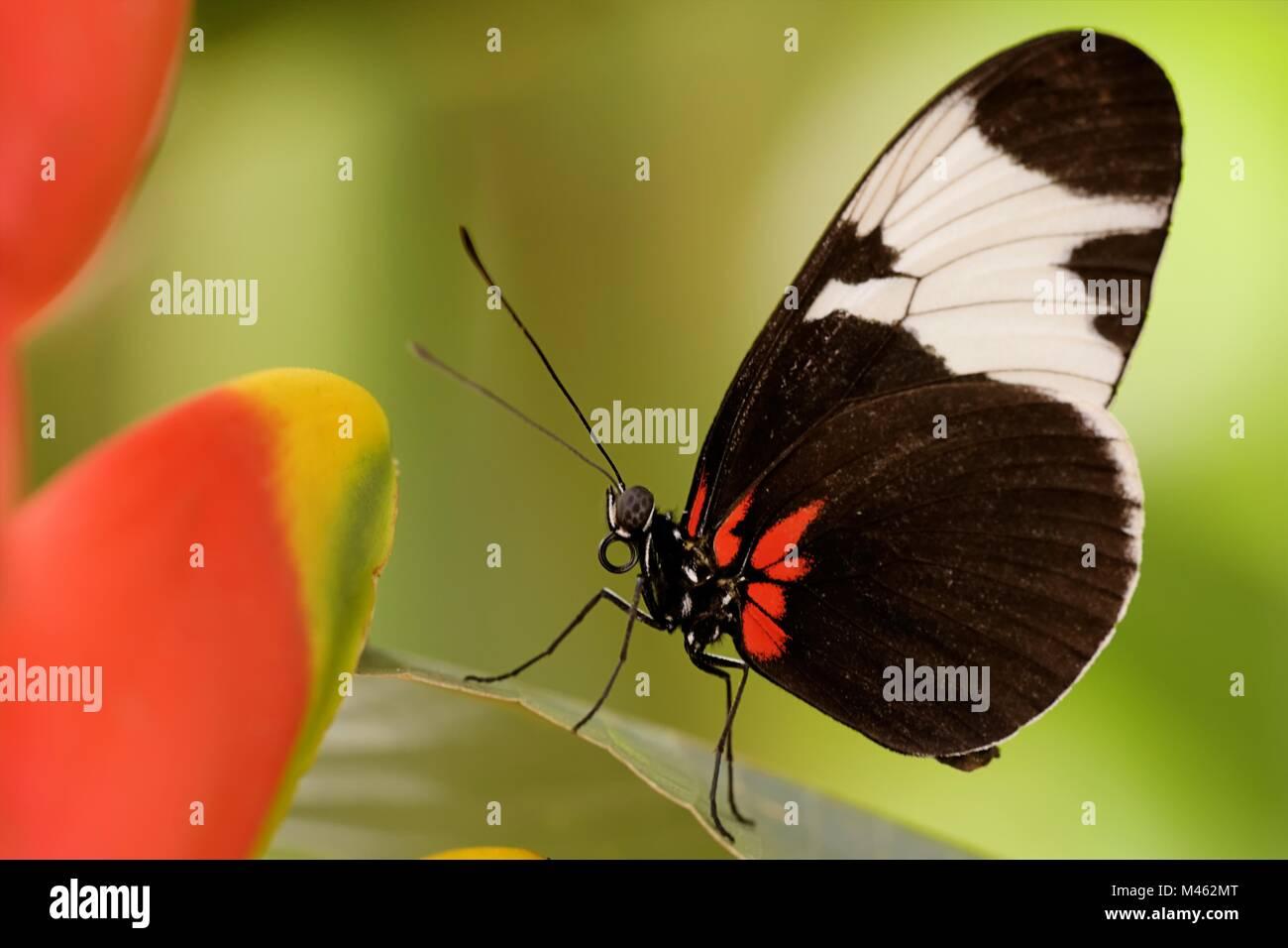 Sapho longwing Stock Photo