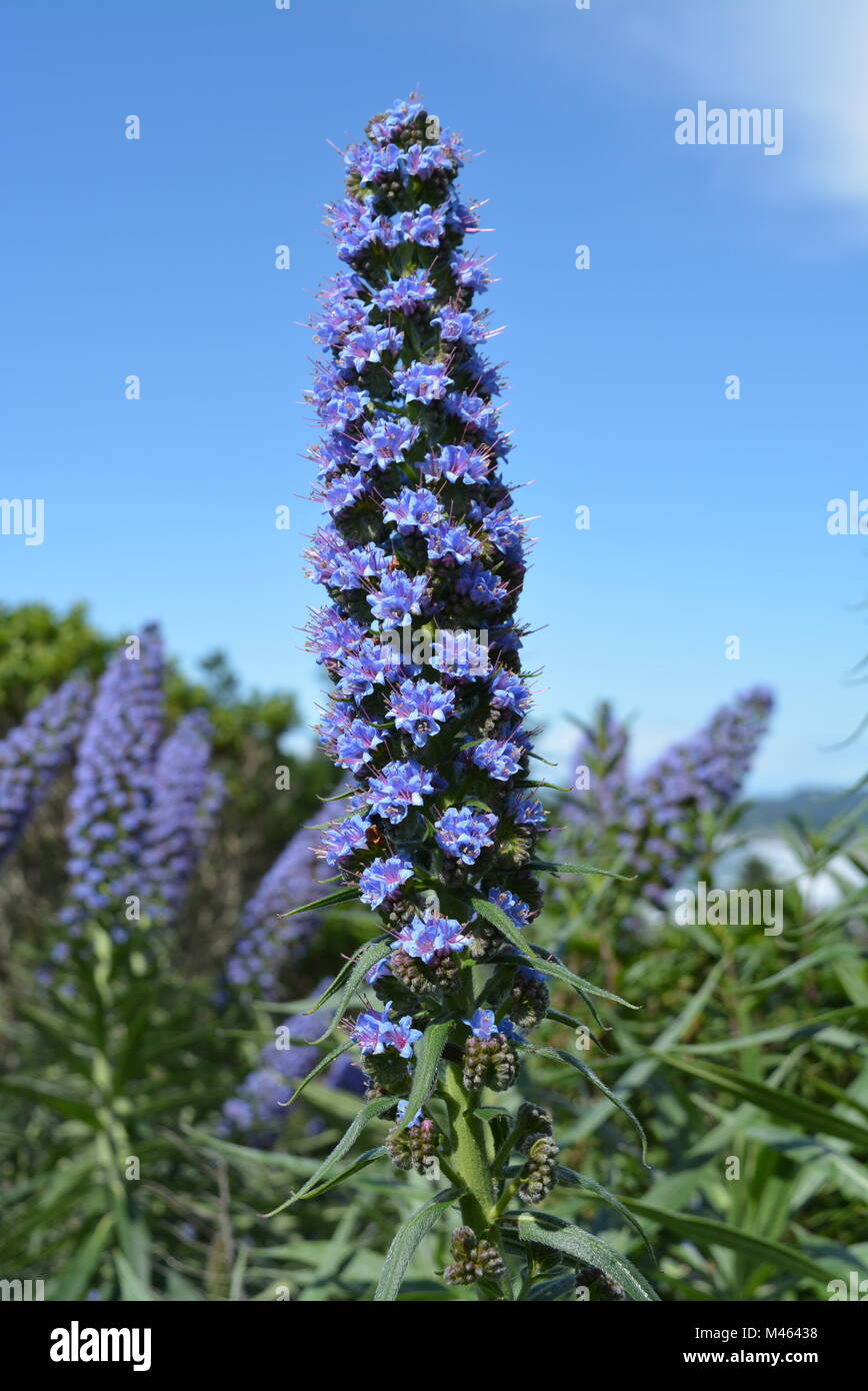 beautiful blue flower at higway 1 from Stinson Beach California - Stock Image