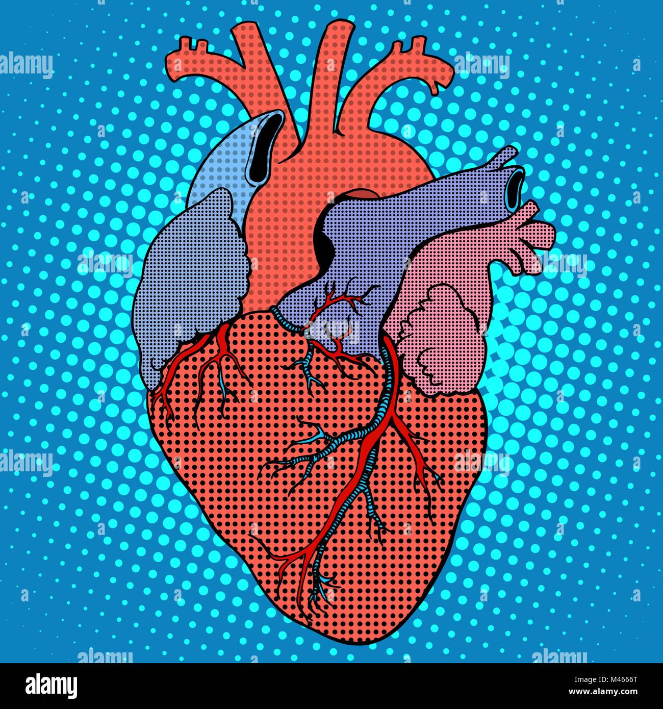 Human Heart Stock Photos Human Heart Stock Images Alamy