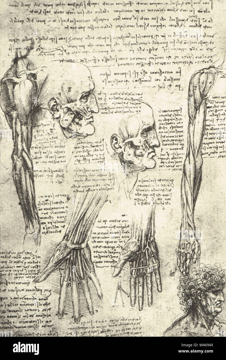 Anatomical Drawing Studies Of The Muscles Of The Face And Arm