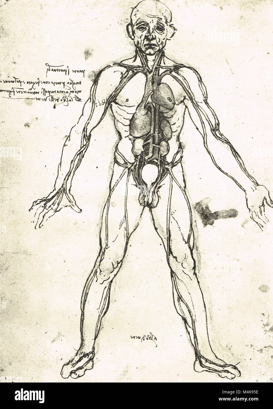 Anatomical figure of a man, to show the heart, lungs and main Stock ...