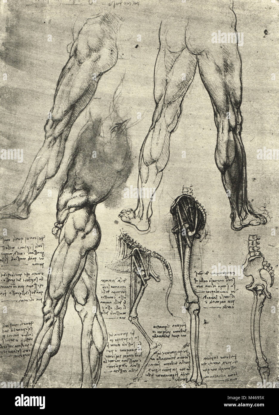 Anatomical drawing. Studies of human legs, and the bones of the leg ...