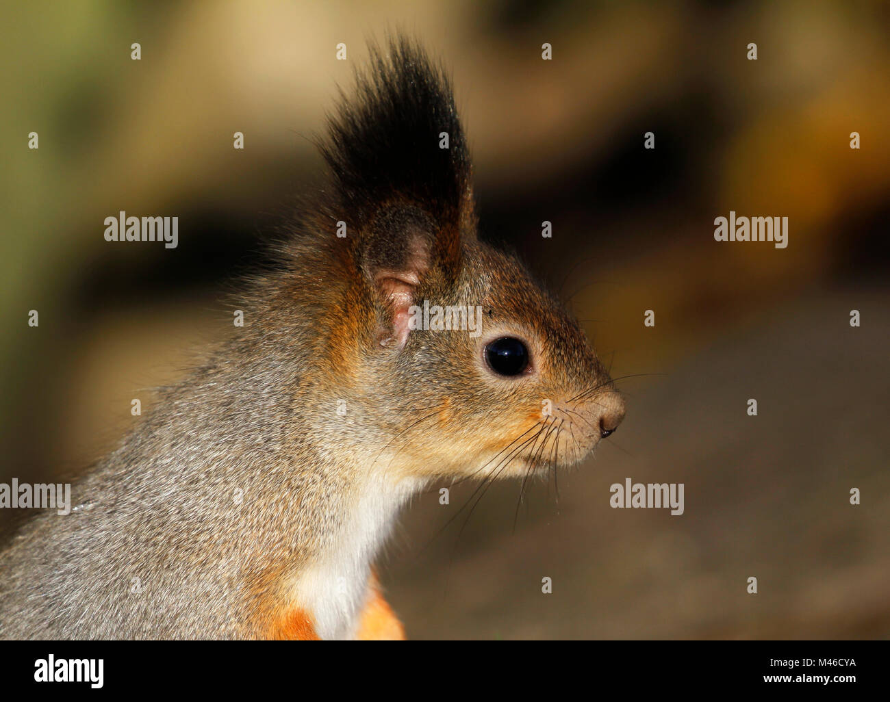 Head of the Red Squirrel Sciurus vulgaris seen from side, Finland. - Stock Image