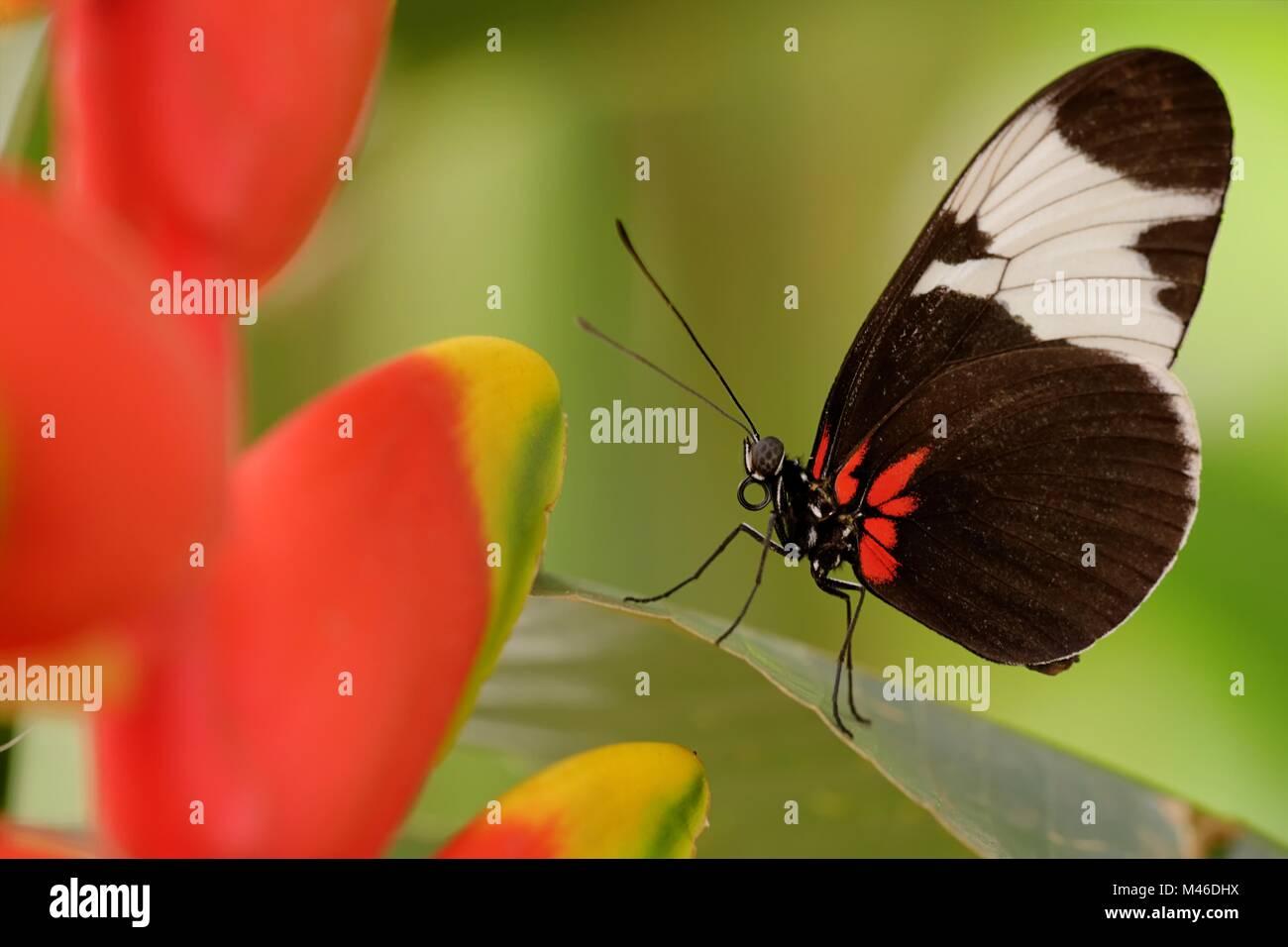 Sapho longwing - Stock Image