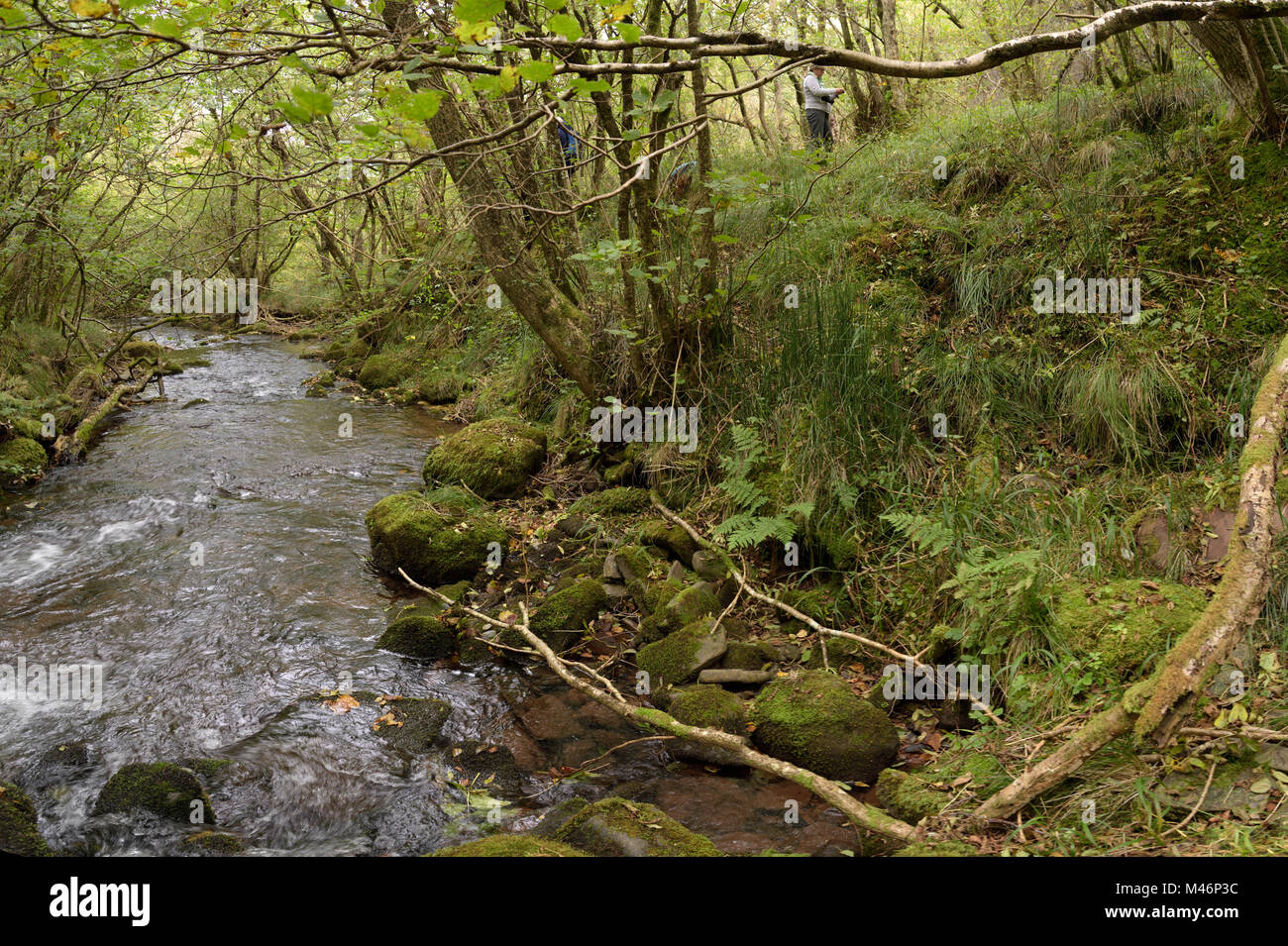 Rough Horsetail, Equisetum hyemale Habitat on the Nant Sere, Brecon Beacons - Stock Image