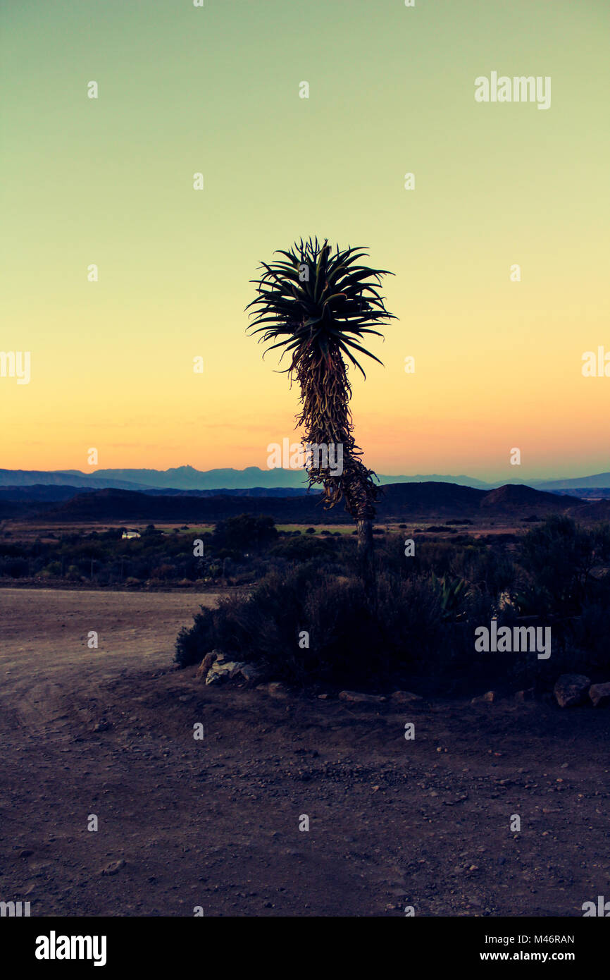 A portrait orientation of an aloe plant on a dusty driveway set against the backfrop of the Klein Karoo mountains - Stock Image