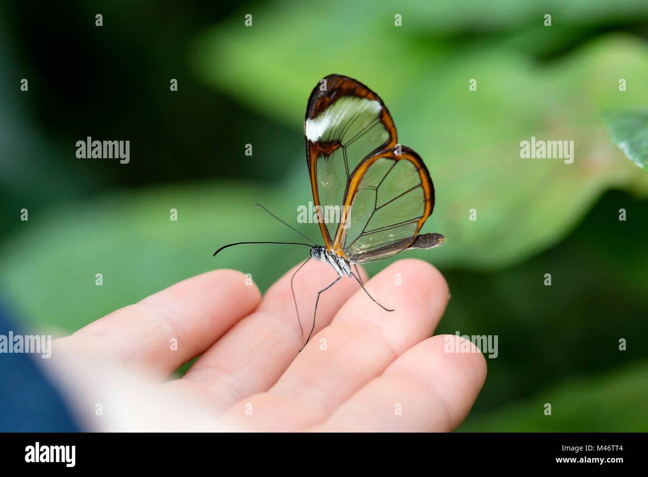 transparent beauty butterfly Stock Photo