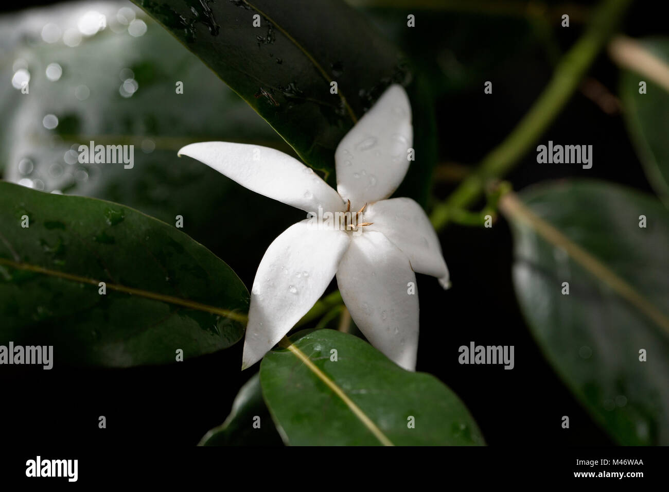 Five petals white wild flower stock photos five petals white wild white star flower stock image mightylinksfo